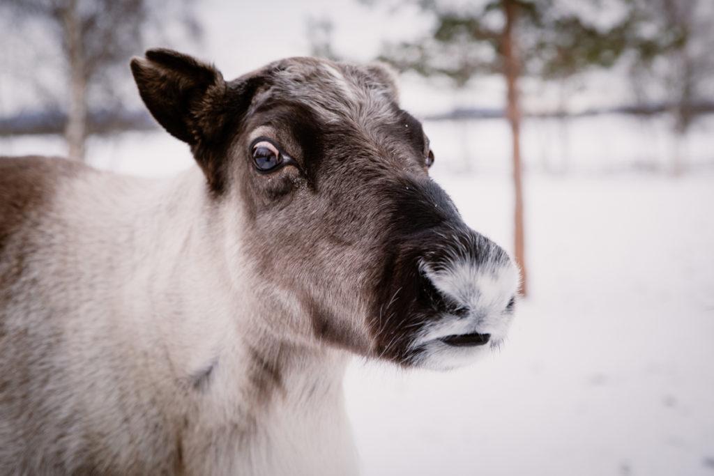 reinder lapland sweden